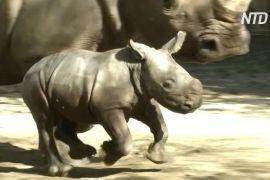 У чилійському зоопарку народився білий носоріг