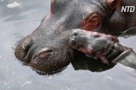Зоопарк у Мексиці показав дитинча бегемота