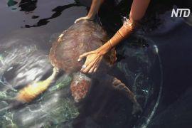 На Канарських островах відпустили в океан врятовану рідкісну черепаху