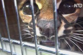 У Колумбії природозахисна держслужба визволяє з небезпеки хижих кішок
