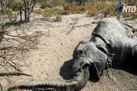 Названо причину масової загибелі слонів у Ботсвані