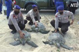 На Балі врятували 25 рідкісних зелених черепах