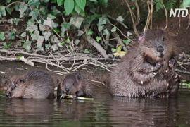 Через 400 років у дику природу Великої Британії повертаються бобри