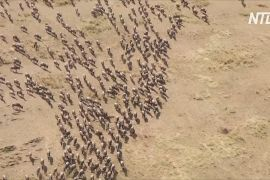 У Кенії за міграцією антилоп гну тепер спостерігають місцеві туристи