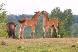Дикі коні й зубри відновлюють біорізноманіття природи Чехії