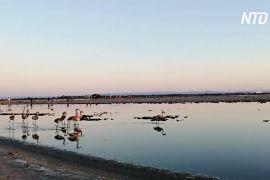У Франції у фламінго вилупилося 12 тисяч пташенят