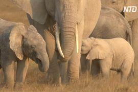 GPS-трекери допоможуть захищати слонів у кенійському заповіднику Амбоселі