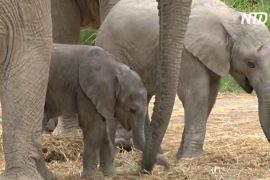 У мексиканському зоопарку в урятованих саванних слонів народилися дитинчата