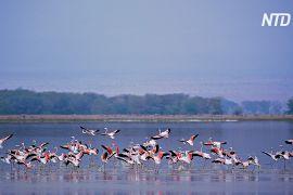 Тисячі фламінго повернулися на кенійське озеро Накуру