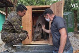 Бразильські ветеринари рятують постраждалих звірів у лісах Амазонії