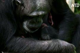 У зоопарку Великої Британії народилося дитинча рідкісного західного шимпанзе