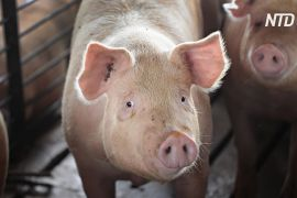 У Німеччині виявили перший випадок захворювання свині на африканську чуму