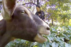 На розчищення нью-йоркського парку від бур'янів запросили кіз