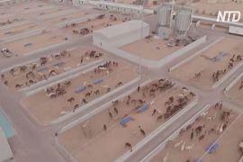 Саудівці раді найбільшій у світі клініці для верблюдів