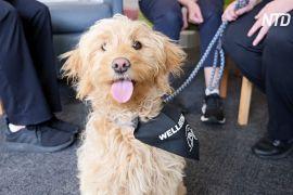 В Австралії собака-терапевт допомагає лікарям розслабитися