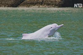 Рідкісні білі дельфіни повернулися у води поблизу Гонконгу