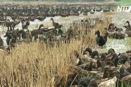 Десятки тисяч качок очищають рисові поля в Таїланді