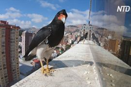 Хижі птахи допомогли родині в Ла-Пасі пережити ізоляцію
