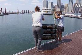 У Нью-Йоркській бухті відновлюють популяцію устриць