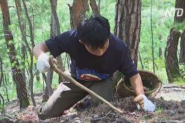 У Північній Кореї в розпалі сезон збору соснових грибів