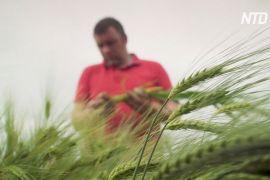 Аргентина першою у світі починає вирощувати ГМО-пшеницю