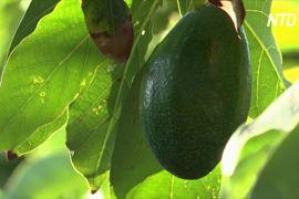 Плантації авокадо «випили» майже всю воду на півдні Португалії