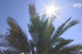 В Ізраїлі виростили фінікову пальму біблійних часів