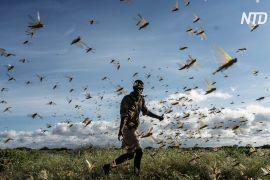 В Ефіопії найгірша навала сарани за 25 років