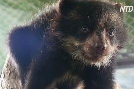Зоопарк у Перу прихистив осиротіле очкове ведмежа