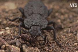 Чи допоможе панцир жука зробити будматеріали міцнішими