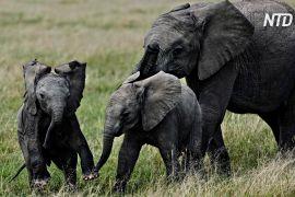 У кенійському заповіднику Амбоселі народилася рекордна кількість слоненят за рік