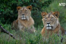 Воїни племені масаї в Кенії тепер не полюють на левів, а охороняють їх