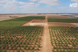 На фермі в Австралії висадили 4000 дерев самозапильного мигдалю