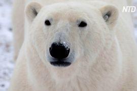 Про наближення білих ведмедів попереджатимуть радари