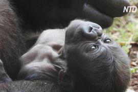 В іспанському зоопарку народилося дитинча рідкісної горили