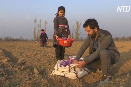 Як у Кашмірі рятують індустрію шафрану