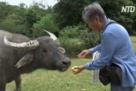 «Мама буйволів»: жителька Гонконгу піклується про дику худобу на острові Лантау
