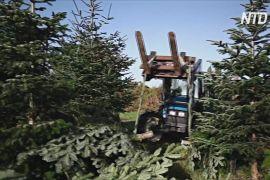 Виробники різдвяних дерев Франції оптимістично дивляться в майбутнє
