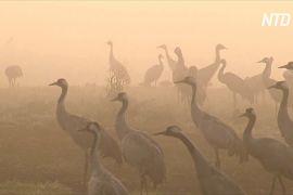 Журавлі під час зимової міграції прилетіли до Ізраїлю із запізненням