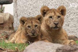 У мексиканському зоопарку за час карантину народилося п'ять левенят