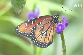 Чому метелики тендітні й живучі одночасно