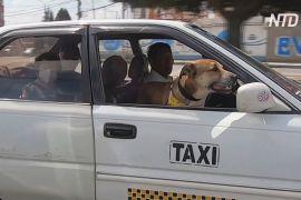 Покликання — штурман: колишній бездомний пес працює в таксі з новим господарем