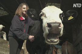 Поговорити з коровою: як на британських фермах допомагають позбутися стресу від карантину