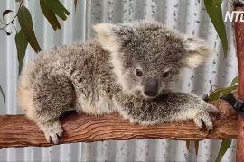 В Австралії намагаються врятувати від зникнення коал