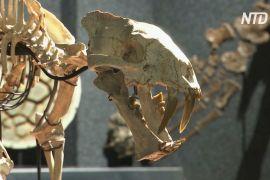 Скелет доісторичної хижої кішки виставлять на торги у Швейцарії