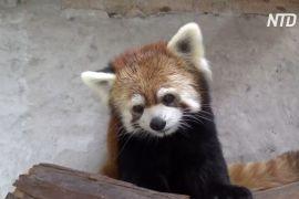 У чилійському зоопарку оселилися червоні панди з Японії
