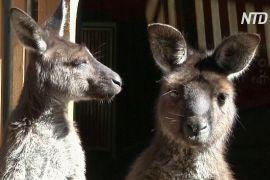 Кенгуру здатні спілкуватися з людьми так само, як і собаки