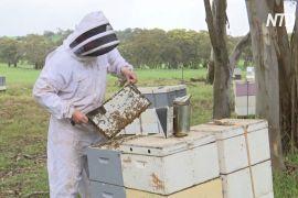 В Австралії дощі допомогли відновитися популяції бджіл