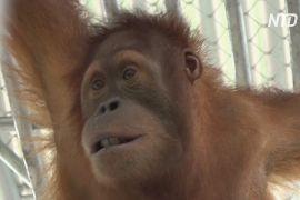 Урятованих від контрабандистів орангутангів повернули до Індонезії