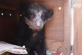 На півдні Перу врятували з неволі очкового ведмедика — сироту